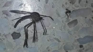 家裡驚現「超巨大蚊子」...是一般蚊子的十倍大阿!網友:好驚人!