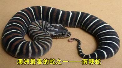 澳洲最毒的蛇之一南棘蛇,擁有令人無語的毒液,最快的攻擊速度