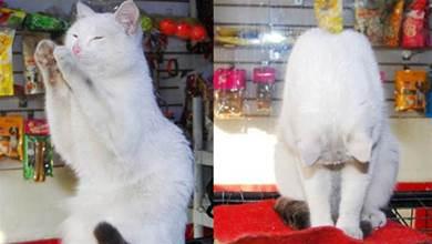 老闆收養了一隻白貓,小傢伙為了報答恩情,一見客人就鞠躬歡迎
