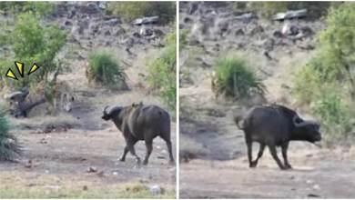 落單小象「遭獅群包圍」倒地掙紮!水牛路過立刻「撂兄弟支援」:放開那孩子!