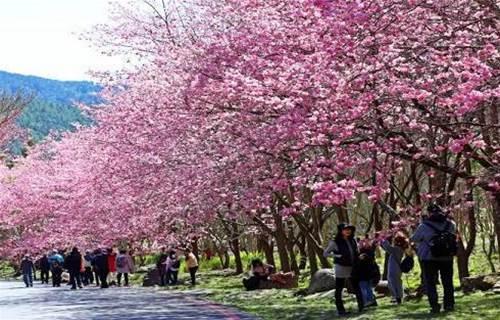 武陵農場櫻花季 早鳥車票開放預購